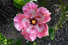 """Hibiscus """"Fire and Ice"""""""