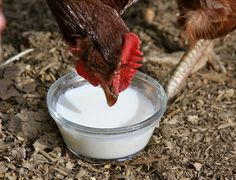 Homestead Revival: Raw Milk For Chickens?