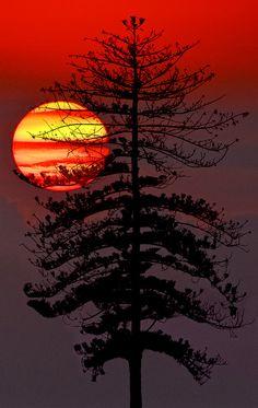 Fire sunset (Pine tree in the sunset.)