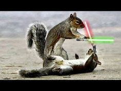 May the 4th Be With You! Video of chipmunks with light sabers!