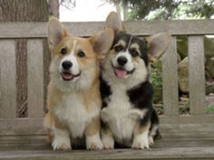 I am so obsessed with corgis, but I don't care they are just to adorable!!