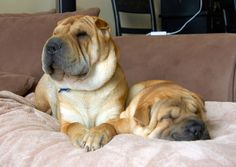 Shar-Pei siblings: Vincent & Verona Shar Pei Mix, Chow Chow Mix, Animals And Pets, Cute Animals, Black Tongue, Dog Rules, Dogs And Puppies, Labrador Retriever, Dog Cat