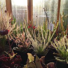 Some late afternoon glow in the greenhouse. #carnivorousplant #carnivorousplants #plant #botany #drosera #sundew #flower by captainplantman