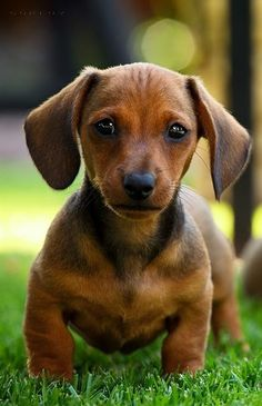Playful precious Doxie pup ♥