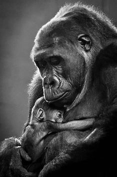 10 Most Loving Mothers In The Animal Kingdom That Will Warm Your Heart - Animals Primates, Nature Animals, Animals And Pets, Wild Animals, Strange Animals, Cute Baby Animals, Funny Animals, Animals Tattoo, Baby Gorillas