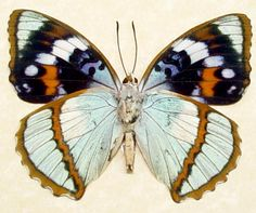 Apatura schrenkii The Mimathyma from Korea Beautiful Archival Conservation Insect Display