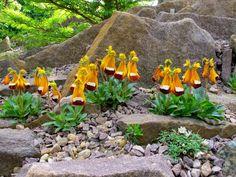 Hermosa Rock Garden Plants, Garden Bulbs, Shade Garden, Rock Flowers, Happy Flowers, Wild Flowers, Alpine Garden, Alpine Plants, Unusual Flowers