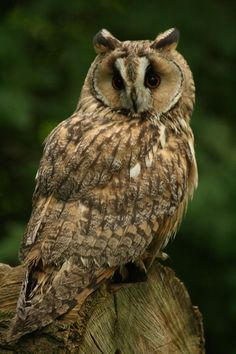 I would highly recommend the day to anyone wanting to photograph birds of prey Beautiful Owl, Animals Beautiful, Long Eared Owl, Owl Pictures, Owl Patterns, Wise Owl, Big Bird, Owl Art, Baby Owls
