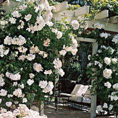 Roses & arbor