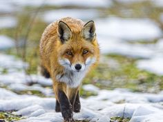 Fox walking towards me by Tambako the Jaguar, via Flickr