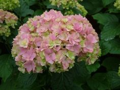HORTENSIA You&Me® 'Together'
