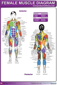 "$21.95 - This vibrant poster uses various shades of color to distinguish muscles in the female body. Superficial and deep muscles, as well as front and rear views, are shown. Laminated; 24"" x 36"". Please contact us if you would like paper version. #female #muscle #body #diagram"