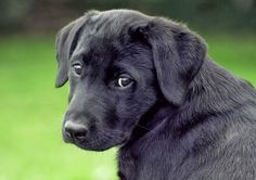 Labrador Retriever is among the top 5 most loveable dog breeds. Click the pic to know all the 5 :)