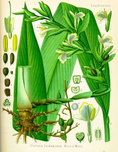 Cardamome — WikiPhyto