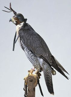 """Falconry - """"the taking of wild quarry in its natural state and habitat by means of a trained raptor"""""""