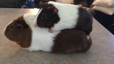 Piggy back - hahahaha Dumb Animals, Small Animals, Cute Guinea Pigs, Guinea Pig Care, Guinea Pig Information, Pig Ideas, Foxes, Cuddle, Feathers