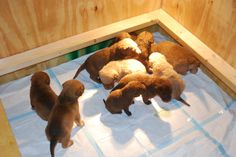 Ellis Farms Chesapeake Bay Retriever - Zoe's puppies 12/2013 Chesapeake Bay, Farms, Puppies, Crafts, Homesteads, Cubs, Manualidades, Handmade Crafts, Craft