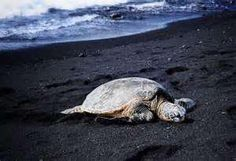 Turtle hanging out in Hawaii