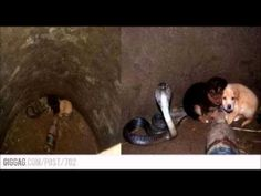 When rescuers found two puppies inside a cobra's den, they couldn't believe what they saw   FAVES.COM