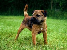 Spartan Dogs - Border Terrier
