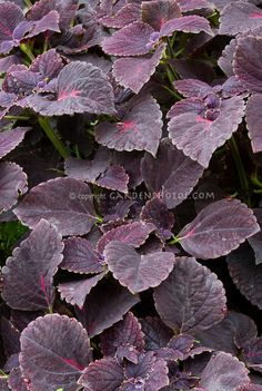 dark purple leaf plants   Solenostemon (Coleus) 'Black Prince' with dark purple foliage leaves