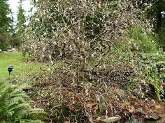 A Harry Lauder's Walking Stick in Bloom, Corylus avellana - How to Grow and Care for Harry Lauder's Walking Stick