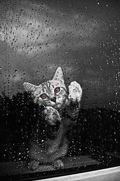 Cat at the window in a rainstorm. Black and white photos of kittens.