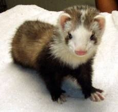This ferret has Waardenburg syndrome. The white stripe is a physical characteristic that shows in ferrets that have this syndrome and they are almost always deaf.