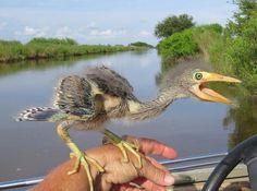 Baby Bird Looks Like Real Dinosaur -blue heron- - Album on Imgur