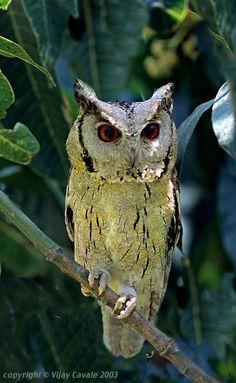 Indian Scops Owl (Otus bakkamoena)  Location: Corbett Tiger Reserve, Uttaranchal, North India.