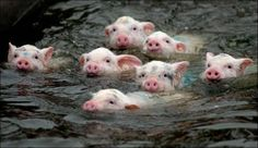 swim swim swim swim @Brittany Horton Phillips I know you love little pigs, thought you might like this