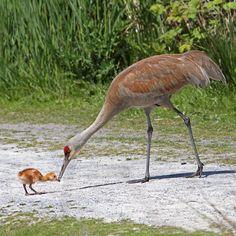 llbwwb:    Mom is so big,Baby Sandhill Crane (by Peggy Collins) Todays Cuteness:)