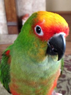 Our Gold Capped Conure, Tater