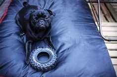 look at that face! black pugs are the cutest!