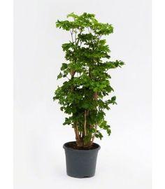 Kamerplant / Binnenplant - Planten voor Woonkamer & Slaapkamer ...