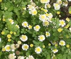 Feverfew is a plant that has well-known and documented health properties and medicinal benefits. This anti-inflammatory can treat rheumatism, arthritis and, most famously, migraine headaches and tension headaches. It's also good for alleviating tension and general anxiety (it is a natural serotonin inhibitor). #healing  #adaptogens  #superfoods  #foodasmedicine  #plantbased  eating#fresh  #superfood  #eattherainbow  #nourish  #healthy