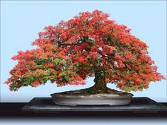 bonsai flamboyan o Tabachin