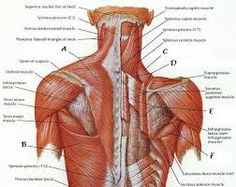 Human Anatomy Back . Human Anatomy Back Human Anatomy Back Muscle Anatomy Deep Muscles Of The Back Shoulder Muscle Anatomy, Human Muscle Anatomy, Human Anatomy And Physiology, Lower Back Muscles Anatomy, Anatomy Back, Muscles Of Back, Muscle Diagram, Anatomy Organs, Anatomy Images