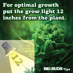 For optimal growth put the grow light 12 inches from the plant