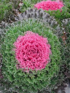 Glamour Red Ornamental Kale starting to show it's color this fall! Leaf coloring begins when night temperatures fall below 55 degrees Fahrenheit for approximately two weeks and continues to bloom from November to March in warmer climates. Cabbage Flowers, Red Flowers, Beautiful Flowers, Unique Flowers, Lawn And Garden, Garden Pots, Flowering Kale, Cabbage Seeds, Ornamental Cabbage