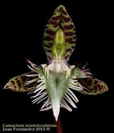 Catasetum semicirculatum