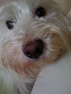 #WSPA supporter Nicola's dog Fife - This is my cheeky little Westie called Fife! He is always up to mischief! xxx