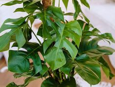 Monstera Deliciosa Aroid Tropical Vine Elephant Ear Jungle ...