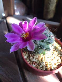 Mammillaria.boolii
