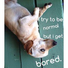 Toby #funnydog #cachorro #doglovers #pets #bichodeestimação #instadog #petsgram #dog #cachorro #animal #instapet #instasweet #dogofinstagram #cooldog  #dachshund #salsicha #linguiçinha #dachshundsofinstagram #doglife https://instagram.com/p/1k-jEVrYMf/?taken-by=brazucas4patas