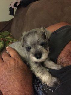 Pretty Boy, one of 5 week old Mini Schnauzer puppies