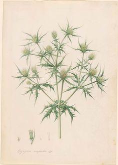 Georg Dionysius Ehret   Eryngium campestre (Sea holly)   Drawings Online   The Morgan Library & Museum