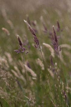 Long purple grass in Shakespear park, #NewZealand. Photo by 14 year old Sarah Albom.  http://www.albomadventures.com/long-grass/