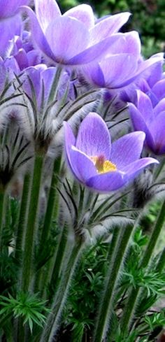 Purple flowers are a great way to add interest to your yard or landscape. See some of our favorite purple garden flowers! Exotic Flowers, Amazing Flowers, My Flower, Wild Flowers, Beautiful Flowers, Spring Flowers, Light Purple Flowers, Lavender Flowers, Cactus Flower