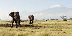 La primera vez que ves a los elefantes africanos en un safari en Kenia quedas impresionado. Su belleza es equivalente a su tamaño.